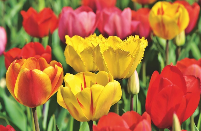 Tulips, Tulip Field, Bloom, Tulpenbluete, Flowers