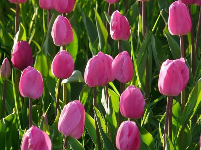 Tulip Field, Tulips, Pink, Light Pink, Tender, Closed