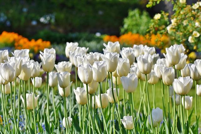 Tulips, Tulip Field, Tulpenbluete, White Tulips