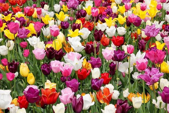 Tulip Field, Tulips, Tulpenbluete, Spring, Tulip Fields