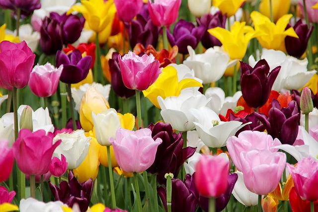 Tulips, Tulip Field, Blossomed, Tulip Fields