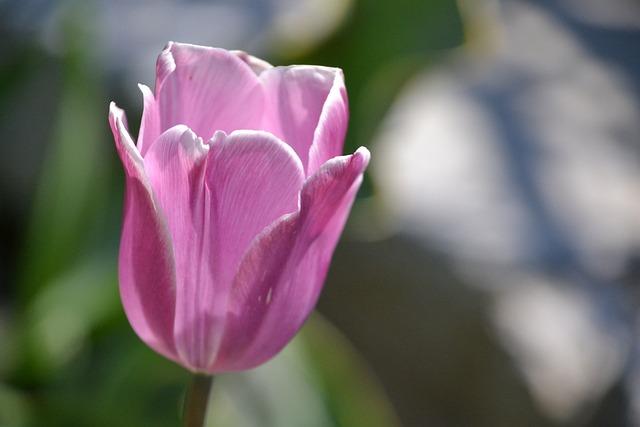 Tulip, Flower, Blossom, Bloom, Purple