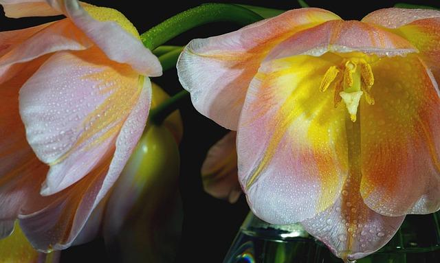 Tulip, Cup, Macro, Flower, Nature, Plant, Garden, Color