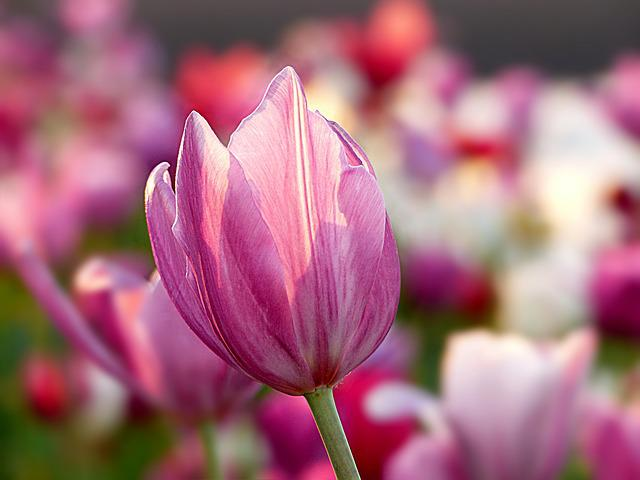 Nature, Plant, Flower, Tulip, Color Pink