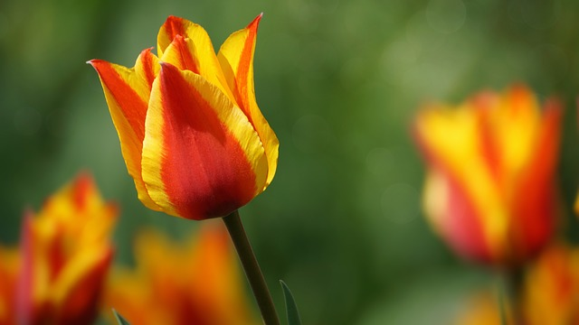 Tulip, Flower, Bright, Plant, Kelly, Yellow, Red