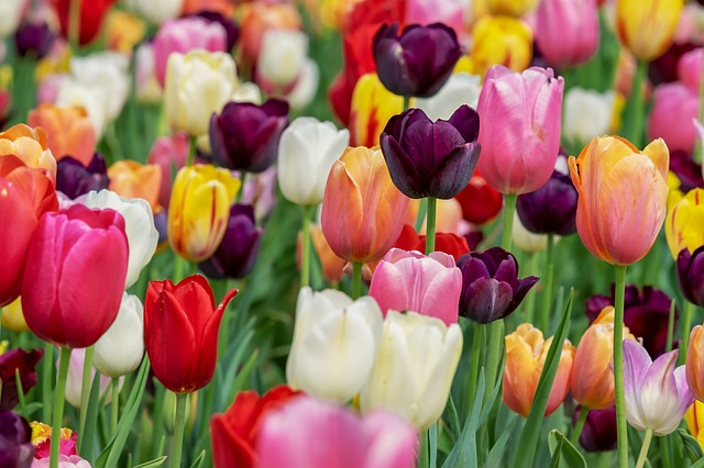 Tulip, Blossom, Bloom, Violet, Flowers, Tulip Field