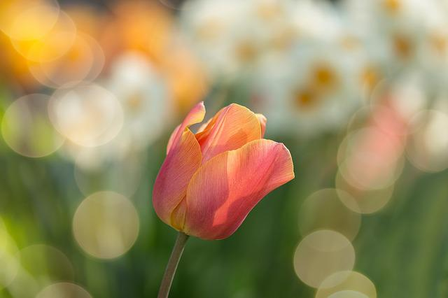 Tulip, Red, Flowers, Spring, Nature, Spring Flower
