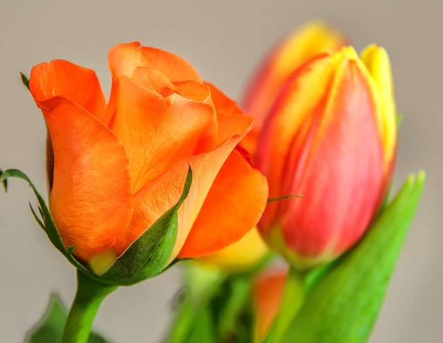 Tulip, Rose, Salmon, Flower, Nature, Plant, Petal