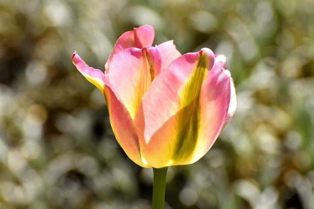 Tulip, Blossom, Bloom, Bloom, Tulip Pink, Flowers