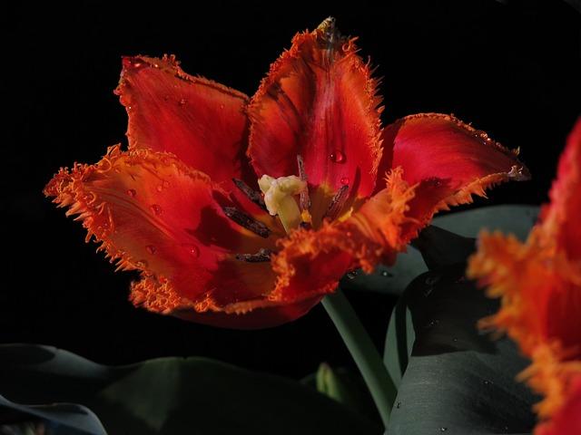 Tulip, Fringed Tulip, Crispa Tulip, Red Flower, Pistil
