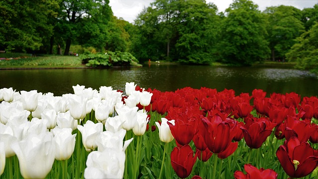 Flower, Garden, Nature, Plant, Tulip, Leaf, Floral