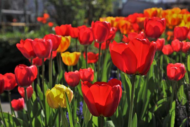 Spring, Tulip, Flower, Plant, Garden, Nature, Season