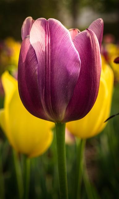 Tulip, Nature, Flowers, Plants, Garden, Spring, Bud