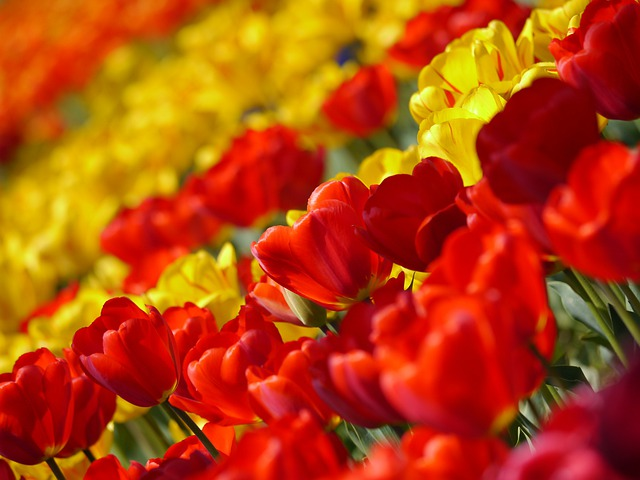 Tulip, Red, Huang, Flowers, Spring, Plant
