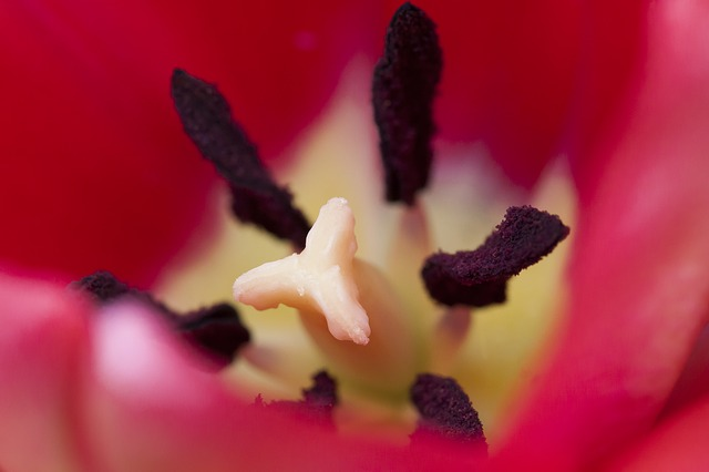 Tulip, Stamp, Stamens, Lily Family, Spring, Nature