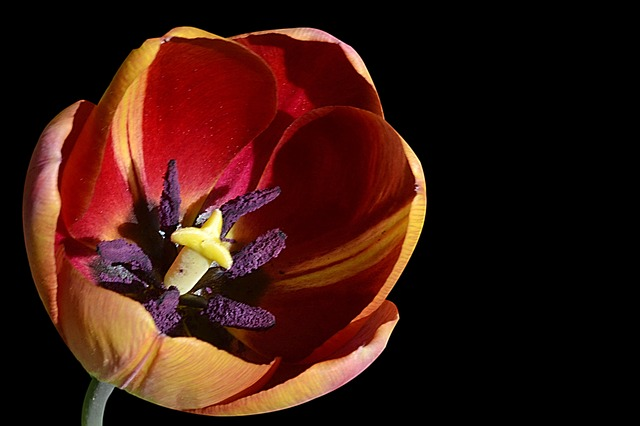 Tulip, Blossom, Bloom, Stamp, Spring, Early Bloomer