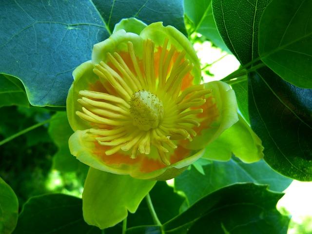 Tulip Tree, Blossom, Bloom, Tree, Magnoliengewaechs