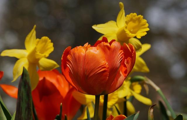 Tulip, Orange, Daffodils, Yellow, Flower, Nature, Plant