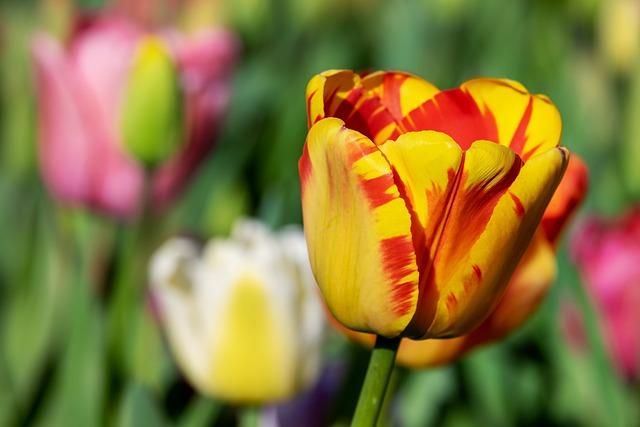 Tulip, Yellow Orange, Yellow Orange Tulip, Tulips