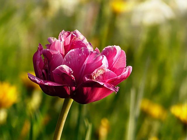 Nature, Flower, Tulip, Tulipa, Pink White