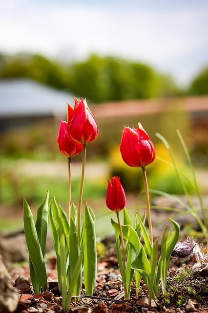 Tulips, Flowers, Spring, Flora, Light, Tulipa, Red