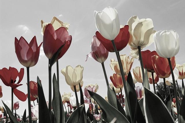 Tulips, Tulip Field, Tulip Fields, Spring, Blossomed