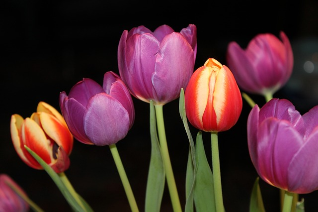Tulips, Strauss, Flowers, Bouquet, Spring, Colorful