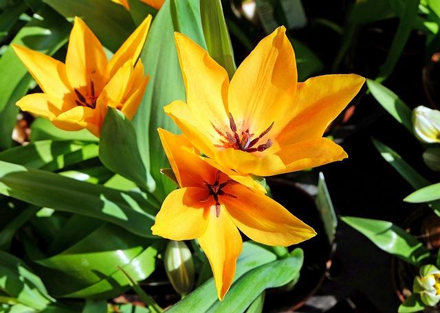 Flower, Tulips, Flowers, Yellow, Orange, Early Bloomer