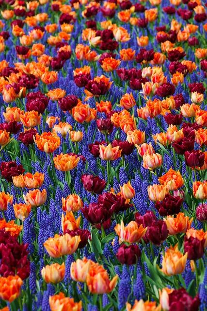 Field, Plants, Flowers, Hyacinths, Tulips, Bloom