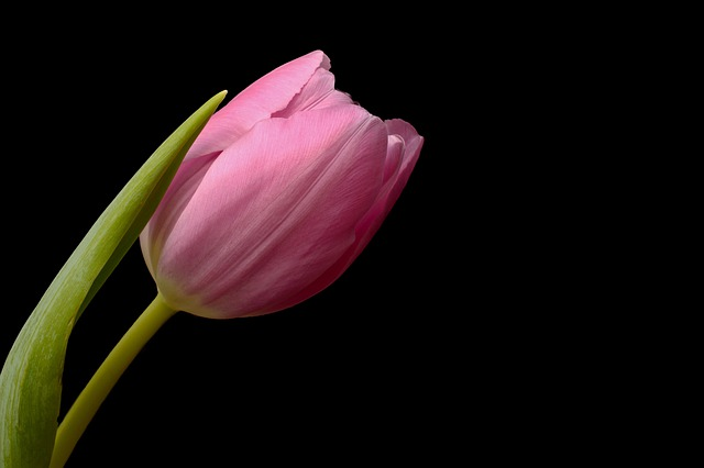 Tulips, Flowers, Spring, Leaves, Flower, Close Up