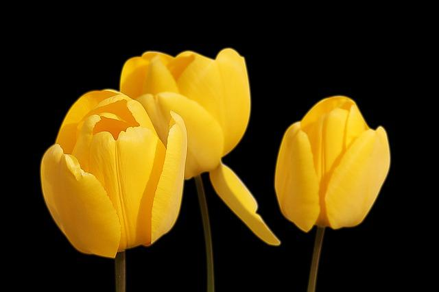 Tulips, Yellow, Flowers, Spring