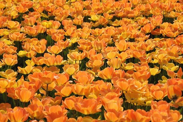 Tulips, Holland, Tulip Fields