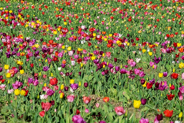 Tulips, Field, Tulip Field, Flower, Plant, Blossom