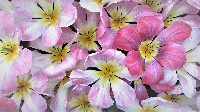 Tulip, Spring, Tulips, Netherlands, Holland, Bulb