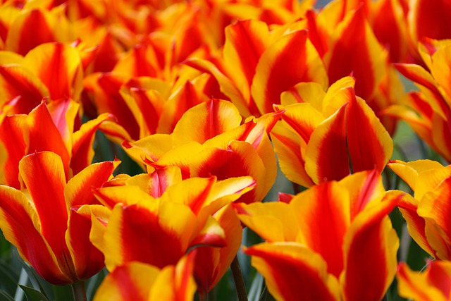 Red, Yellow, Tulips, Tulip, Green, Background