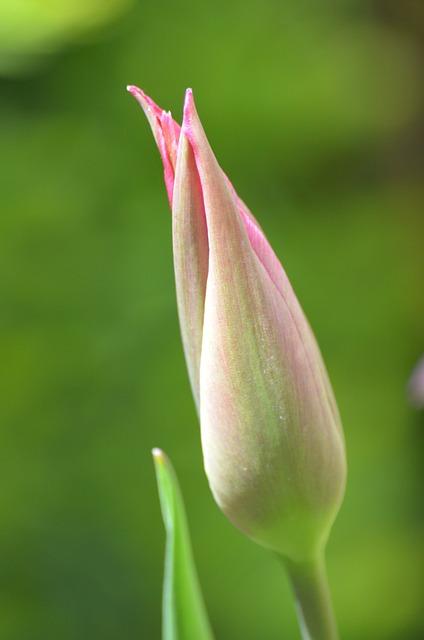 Closed Tulip, Tulip, Flower, Closed, Tulpenbluete