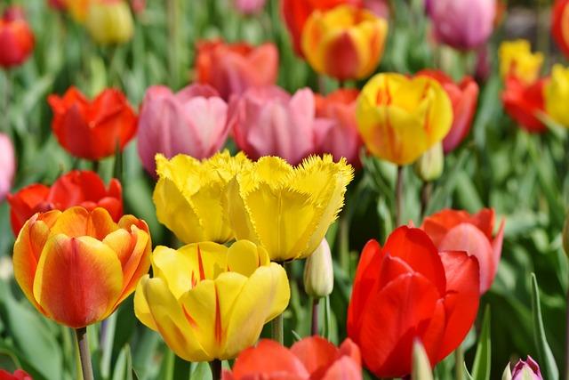 Tulips, Tulip Field, Tulpenbluete, Blossomed