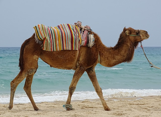 Dromedary, Animal, Sea, Tourism, Holiday, Tunisia