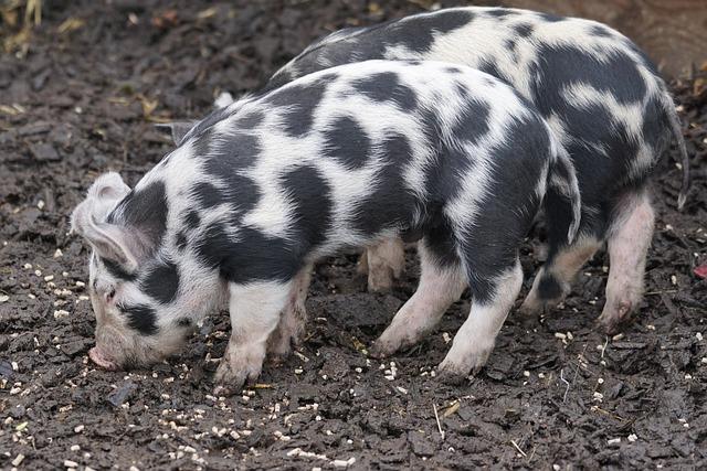 Pig, Turopolje, Domestic Pig, Piglet, Frugal