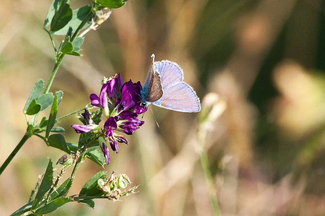 Common Blue, Lycaenidae, Butterfly, Turquoise