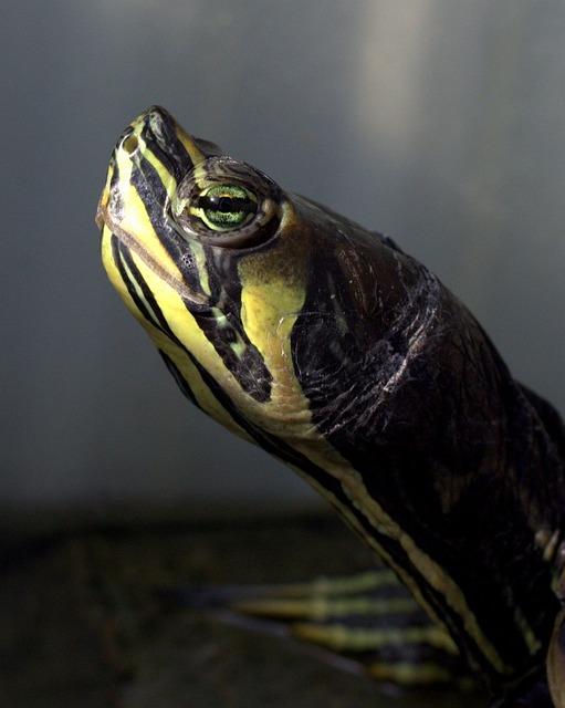 Turtle, Florida, Reptile