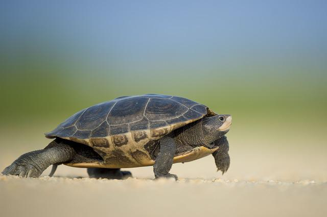 Turtle, Reptile, Walk, Walking, Shell, Turtle Shell