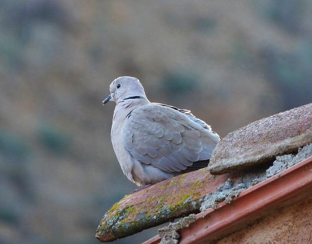 Turtledove, Eurasian Collared Dove, Lookout, Roof