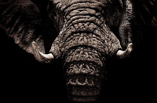 Elephant, Tusks, Ivory, Large, Wrinkles, Trunk