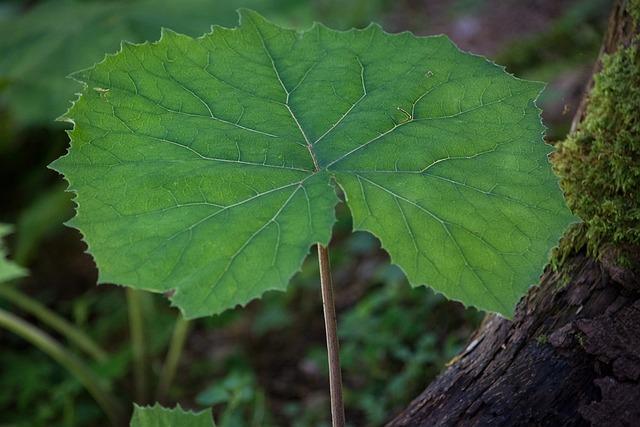 Tussilago Farfara, Leaf, Green, Plant, Forest Plant