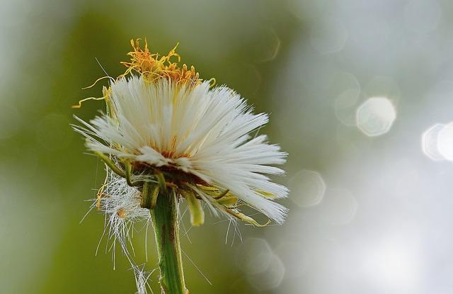 Nature, Tussilago Farfara, Spring, Yellow, Blossom