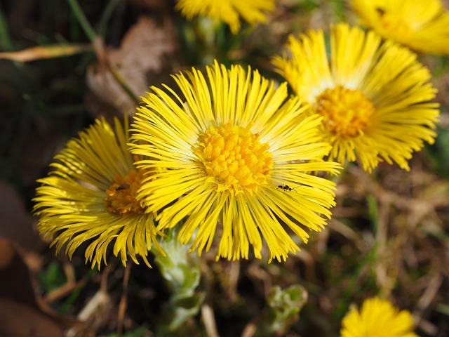 Tussilago Farfara, Flower, Blossom, Bloom, Yellow