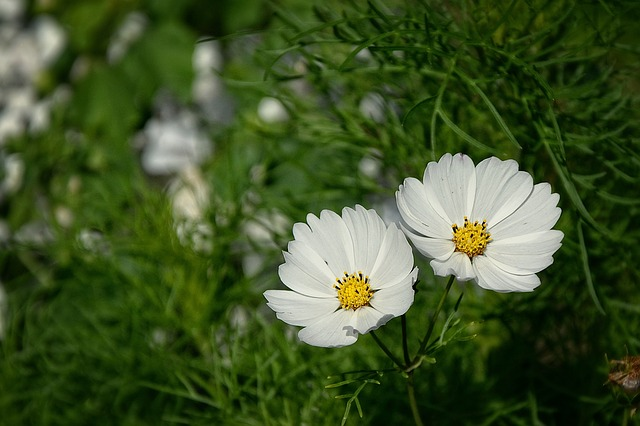Beauty, Twins, Flower, Summer, White Flowers, Meadow