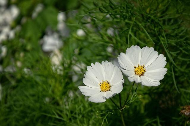 Beauty, Twins, Flower, Summer, White Flowers, Meadow