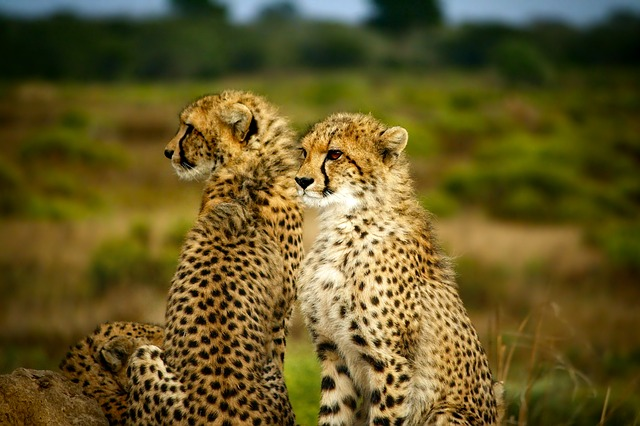 Cheetahs, Pair, Two, Together, Wildlife, Animals